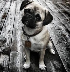 Слишком длинная морда, уши. Собака-полукровка.